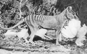 Disparu depuis 80 ans, le tigre de Tasmanie sera bientôt…