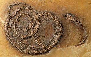 Découverte d'un fossile de serpent qui avait mangé un lézard…
