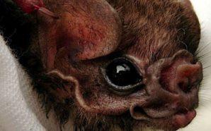 Des chauves-souris brésiliennes ont commencé à se nourrir de sang…