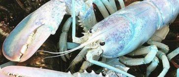 homard arc-en-ciel