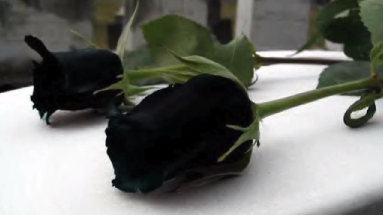 Cette Magnifique Rose Noire Ne Pousse Que Dans Un Endroit Au Monde