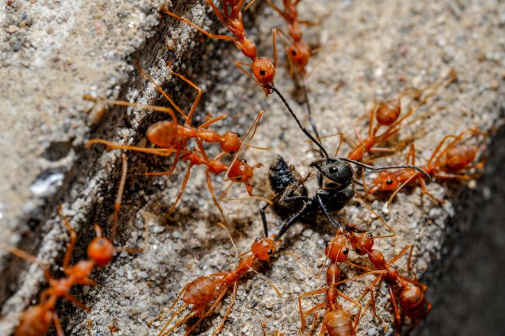 les fourmis sont la fois guerri res et pacifistes sciencepost. Black Bedroom Furniture Sets. Home Design Ideas