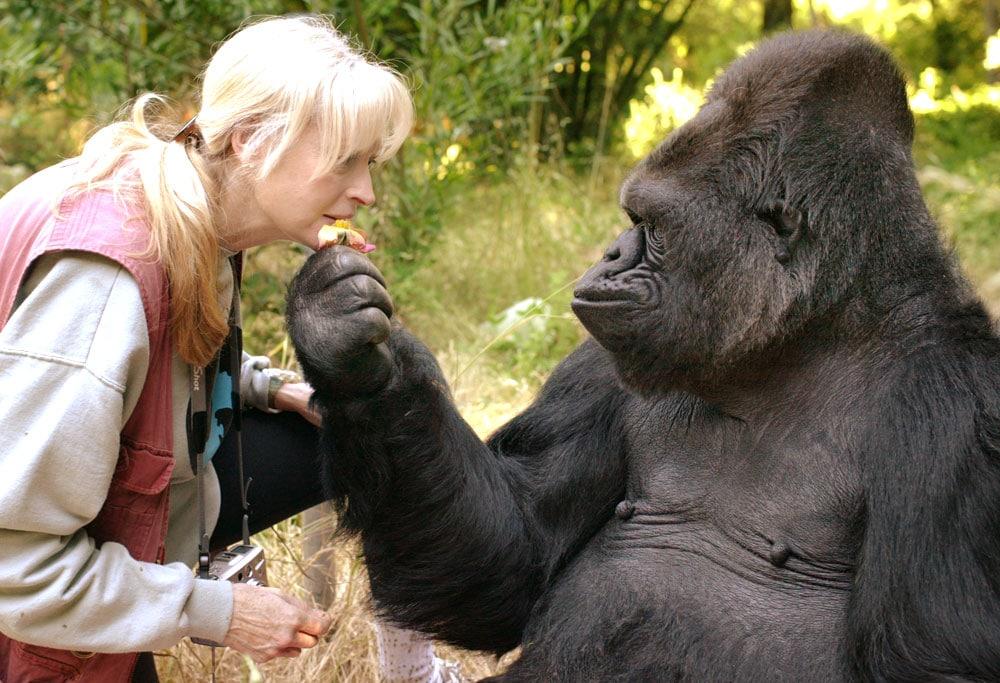 Koko gorille Francine Patterson