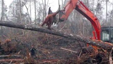 bulldozer orang outan