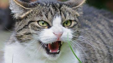 chat félin
