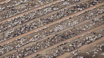 élevage vaches
