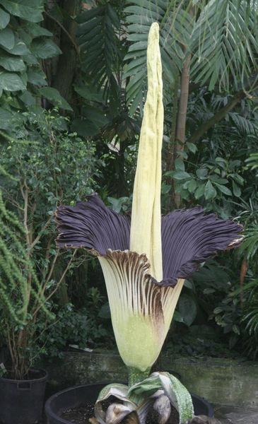 floraison amorphophallus titanium