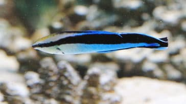 poisson Labroides dimidiatus