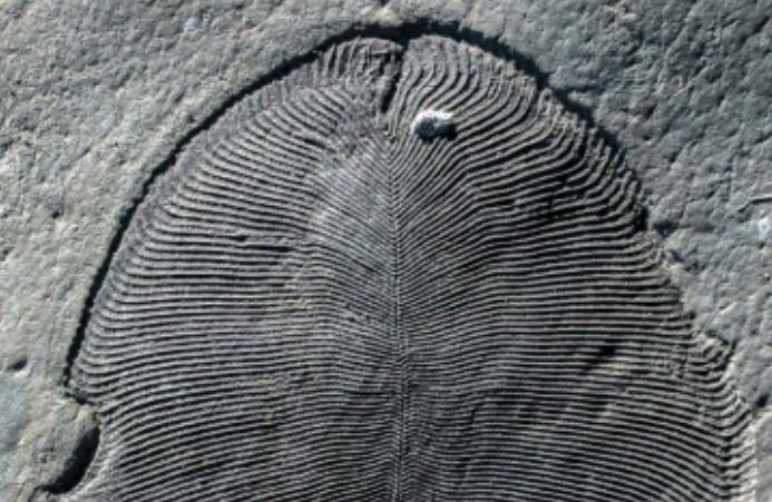fossile Dickinsonia