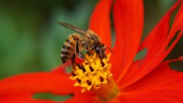 pollinisateurs abeile fleur