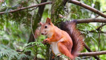écureuil rongeur