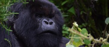 gorilles montagnes Rwanda reproduction