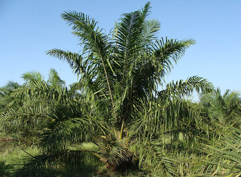 huile de palme palmier