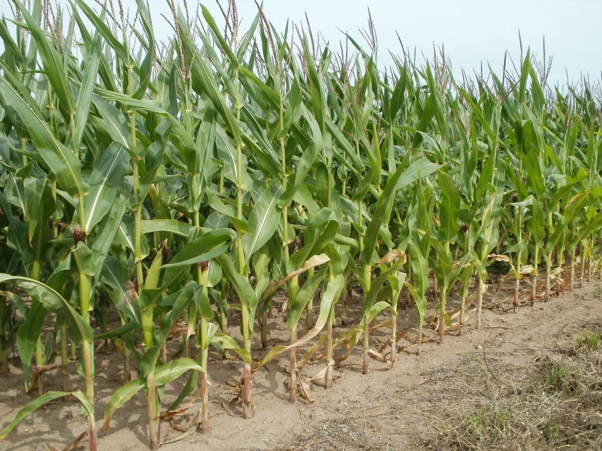 maïs cultures