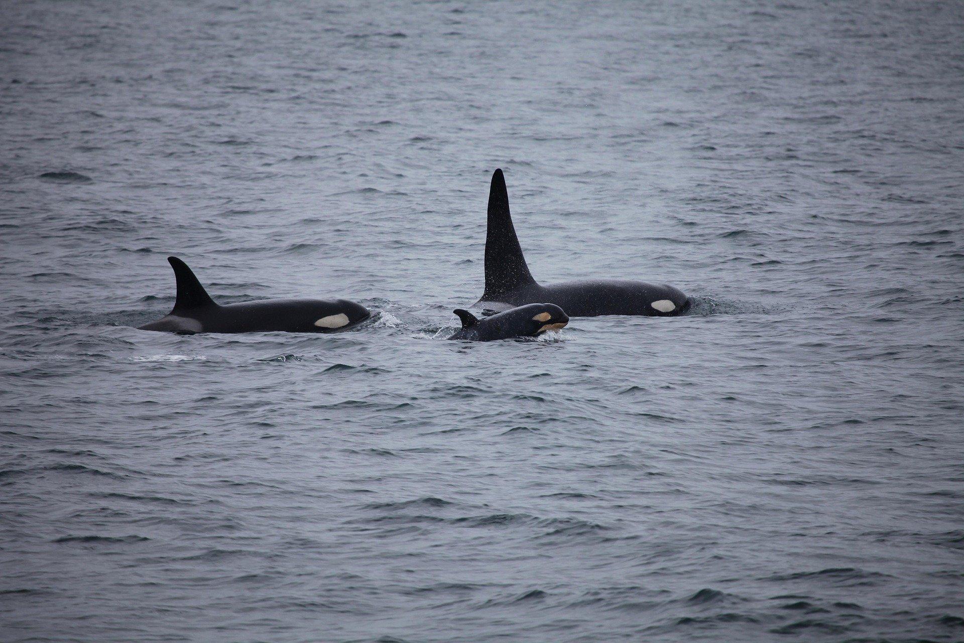 Plusieurs bateaux attaqués par des orques au large de l'Espagne Killer-whales-3933326_1920