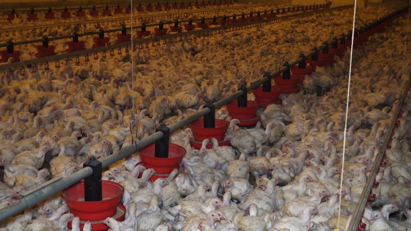 elevage poulets
