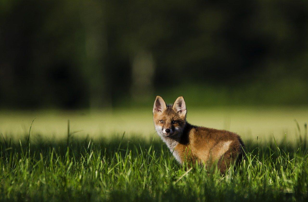 Les renards des villes sont en train d'évoluer Fox-3587489_1280