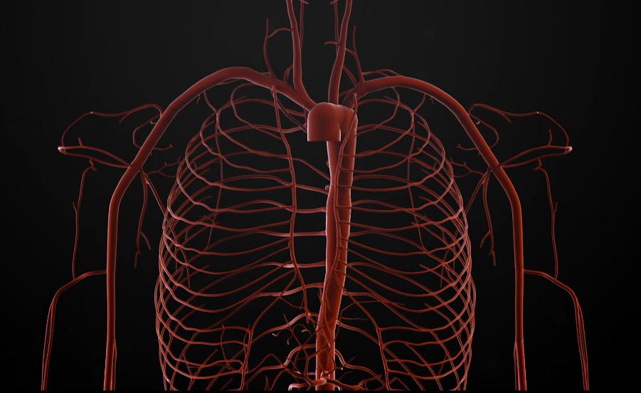 circulation sanguine humain virtuel