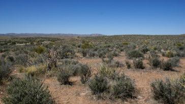 desert Mojaves