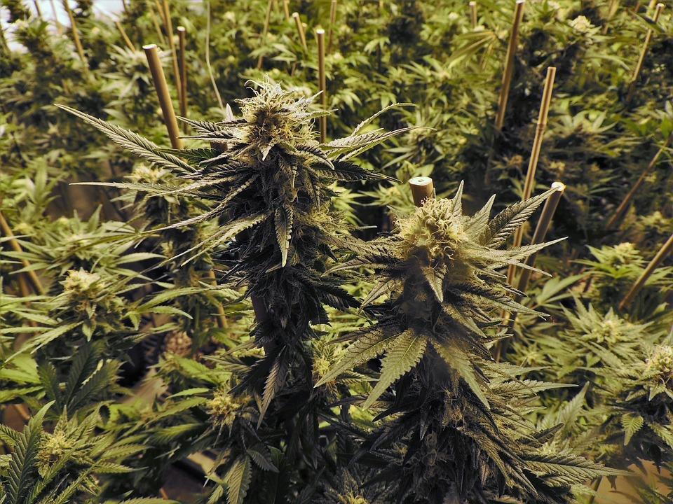 cannabis cultivation 2