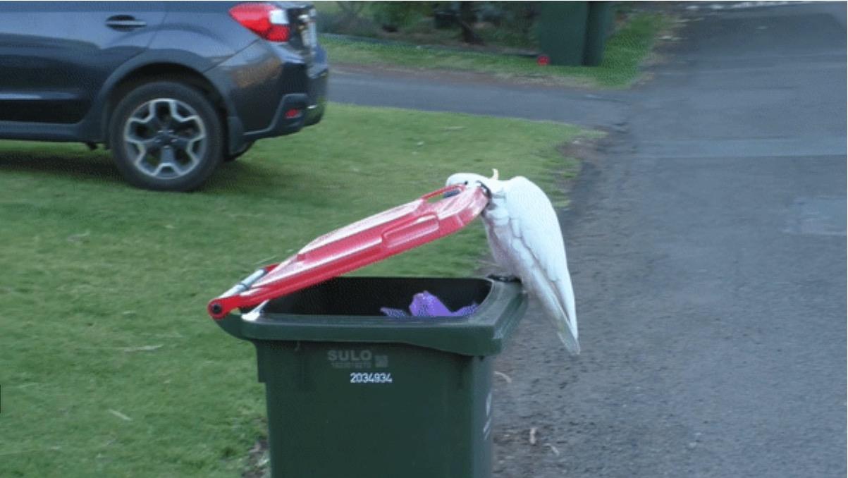 En Australie, les cacatoès ont appris à ouvrir les poubelles