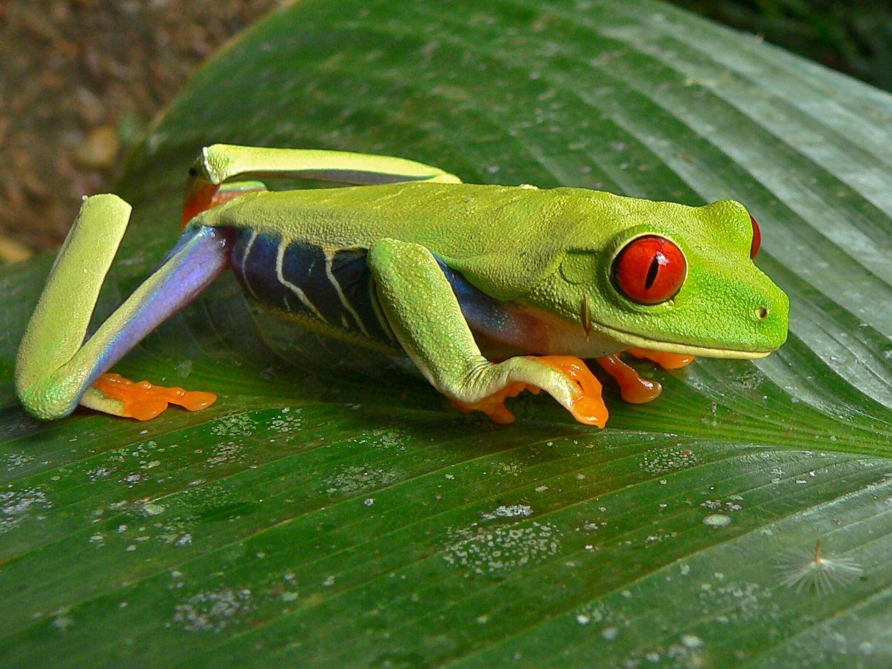 grenouille rainette yeux rouge