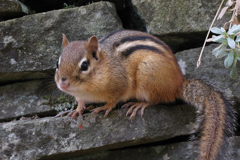 tamia écureuil