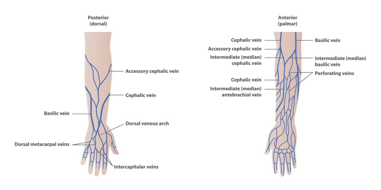 schéma artères bras