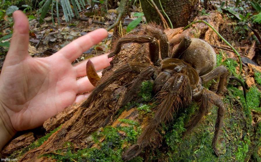 faites connaissance avec la plus grosse araignée du monde